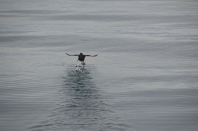 husavik-baleines (27)