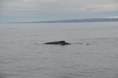 husavik-baleines (52)
