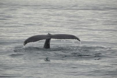 husavik-baleines (55)