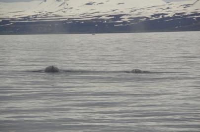 husavik-baleines (58)