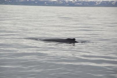husavik-baleines (59)