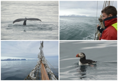 whale-watching-puffin-husavik