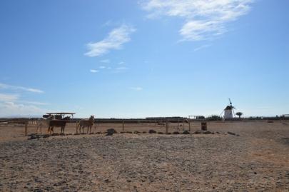 promenade-cheval-fuerteventura (1)