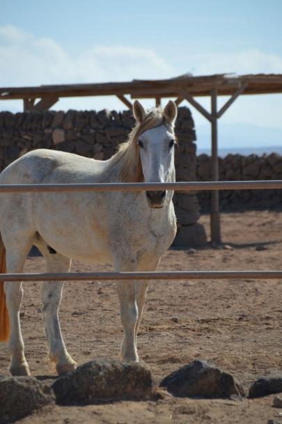 promenade-cheval-fuerteventura (7)