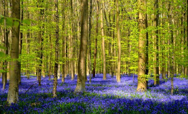 La for t jacinthe bois de halle rencontre amicale nature halle belgique - Jonquille sauvage des bois ...