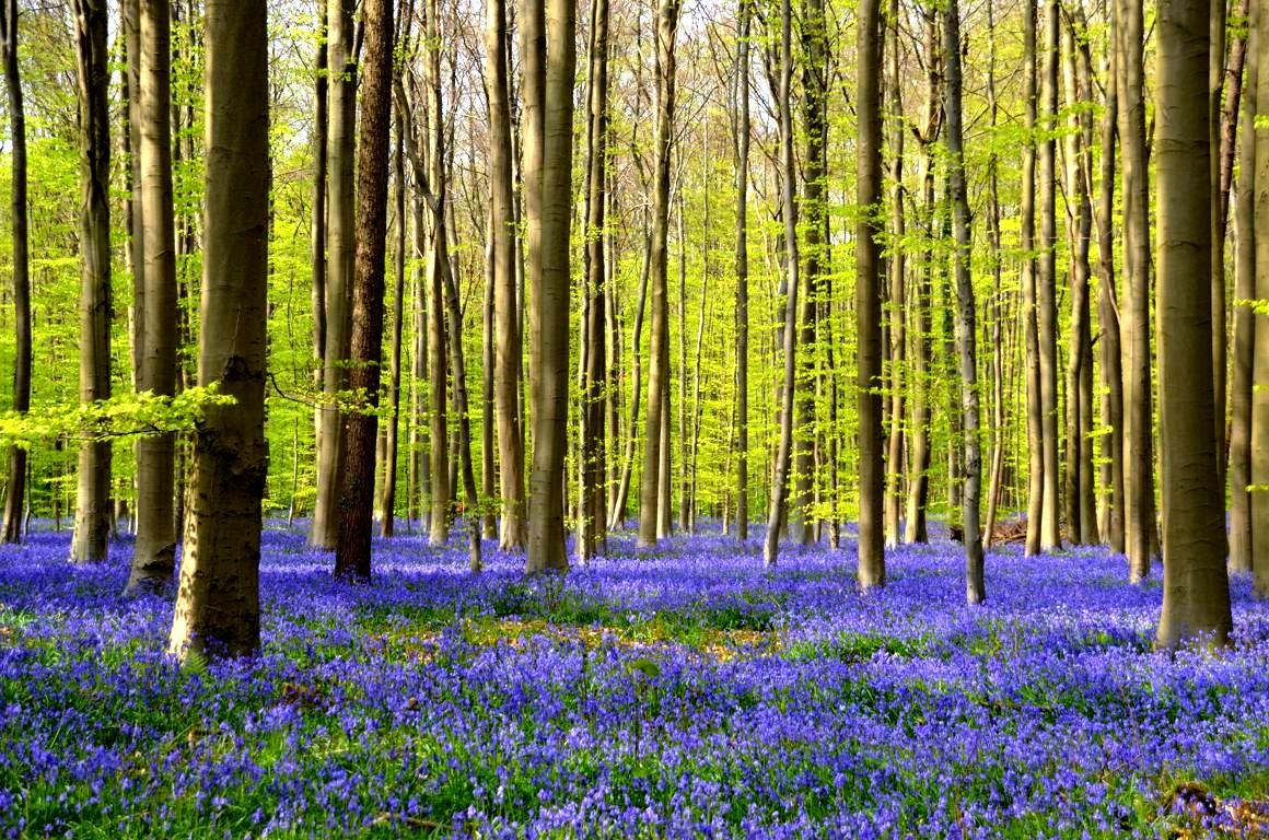 Fleur De Sous Bois Bleue floraison des jacinthes du bois de hal : un spectacle magique