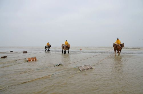 pecheurs-de-crevettes-a-cheval-coxyde (13)