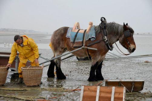 pecheurs-de-crevettes-a-cheval-coxyde (4)